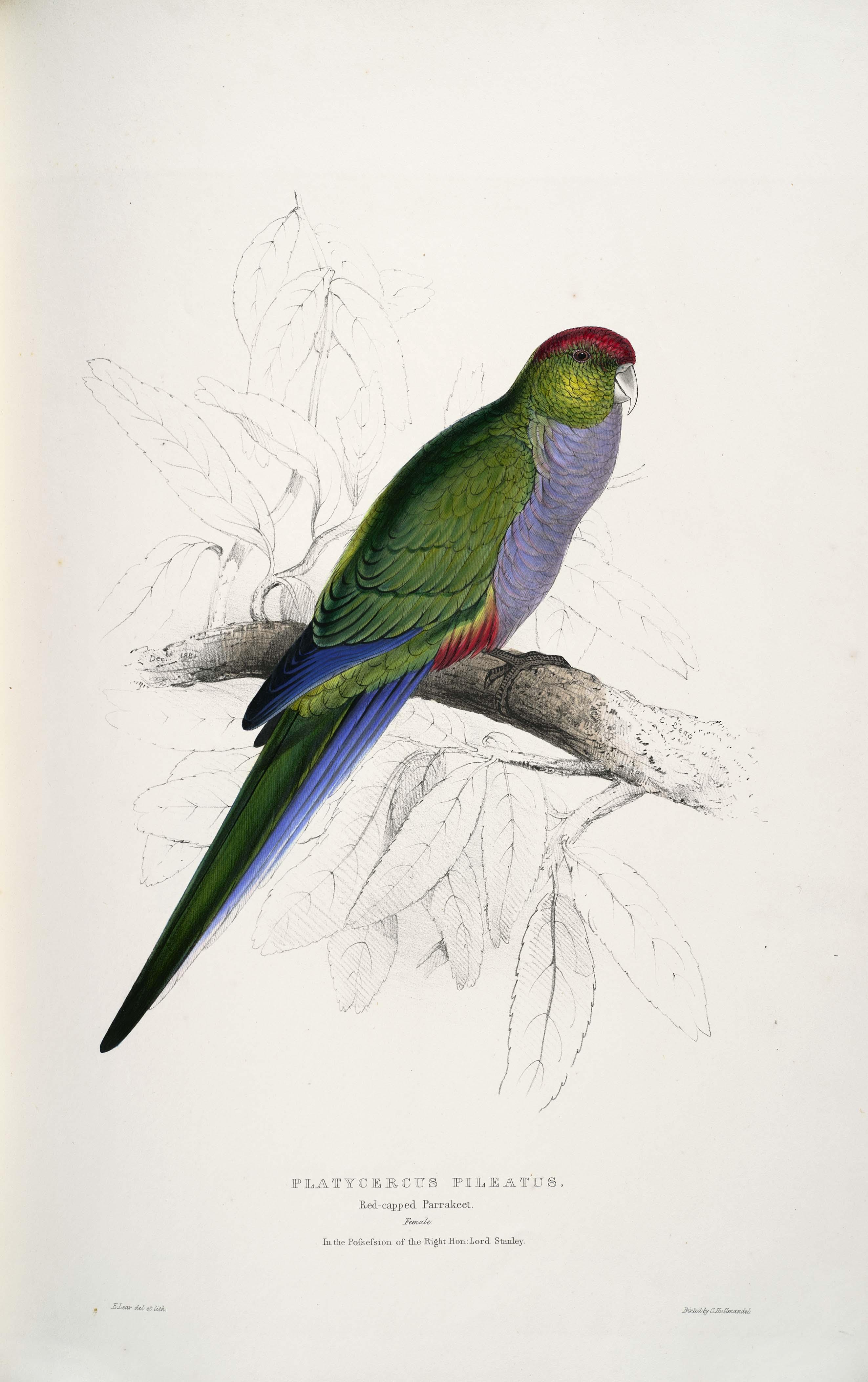 Purpureicephalus spurius - Edward Lear